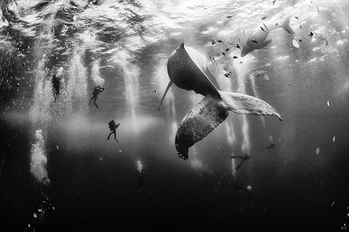 ballena jorobada blanco y negro