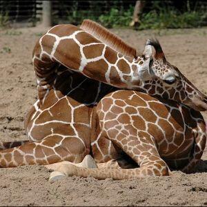 jirafa durmiendo