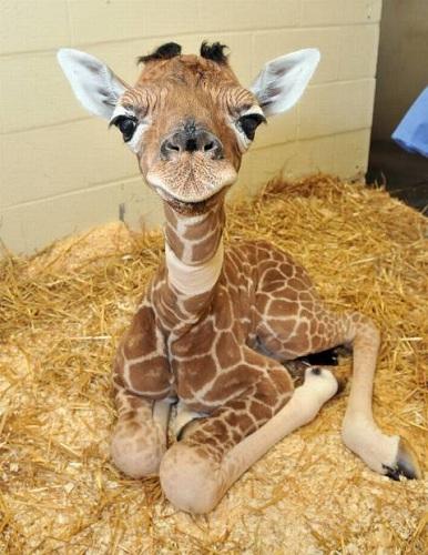 jirafa pequeña